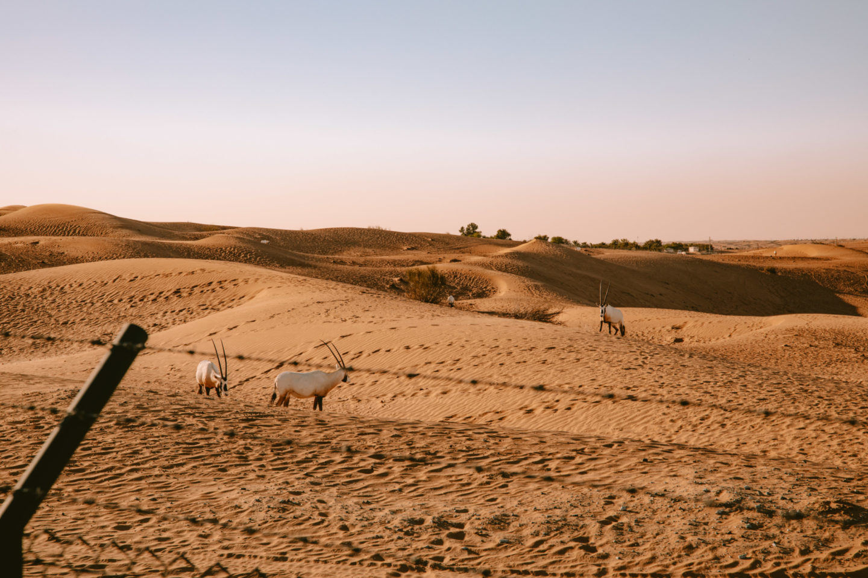 Faire un safari dans le désert Dubaï - Blondie Baby blog voyages